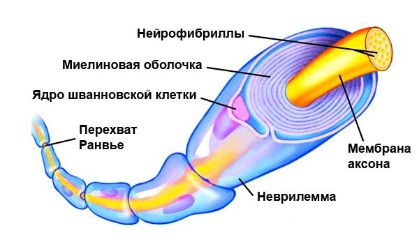 Нерв в миелиновой оболочке